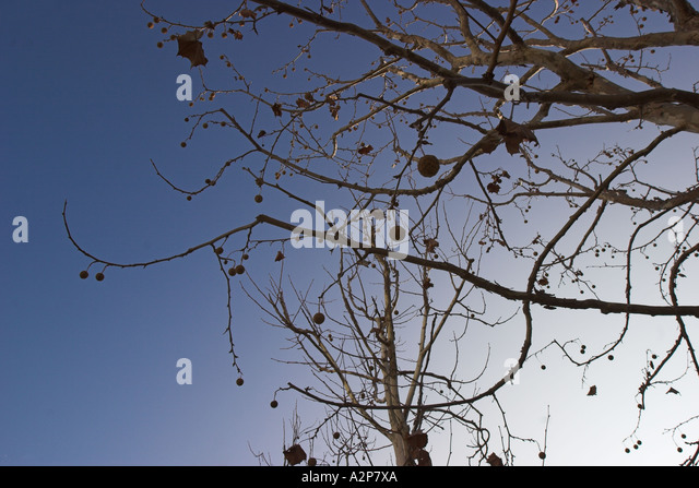 A bare tree at the J. Paul Getty Center in Los Angeles, CA. - Stock Image