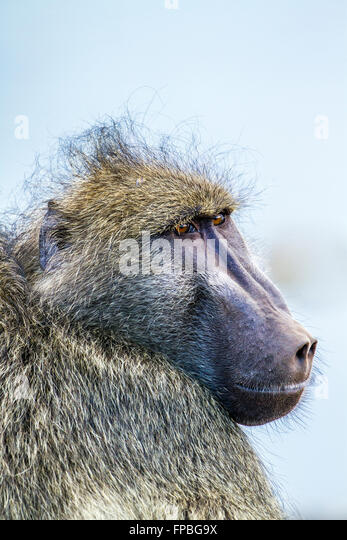 Chacma baboon in Kruger national park, South Africa ; Specie Papio ursinus family of Cercopithecidae - Stock Image