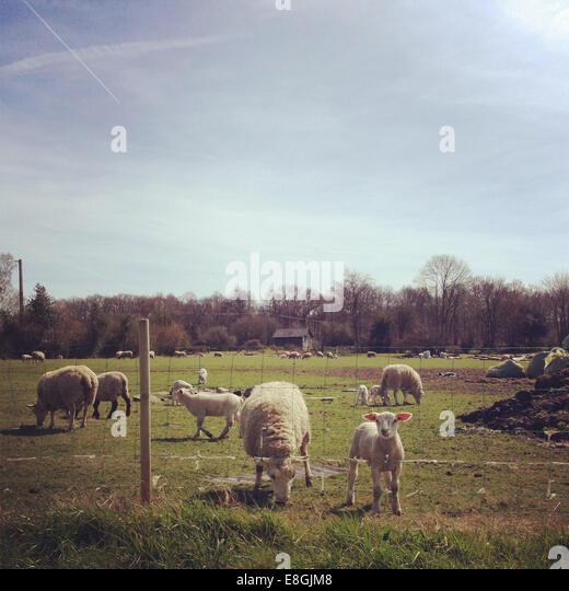 France, Rouen, Calvados, Lisieux, Courtonne-la-Meurdrac, Lambs grazing on farm - Stock Image