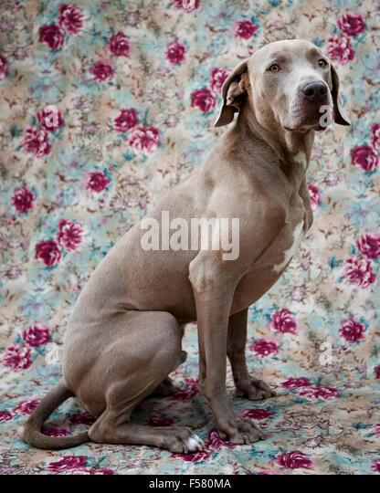 humorous handsome portrait adult Weimaraner dog sitting profile on a floral fabric background looking off camera - Stock Image