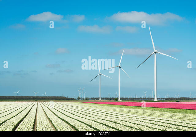 Rows of white and pink flower blooms and wind turbines, Zeewolde, Flevoland, Netherlands - Stock Image