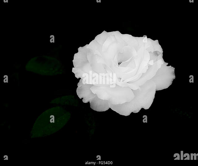 Close up of white rose flower on dark, almost black, background for sympathy card, mourning, condolences or sadness - Stock Image