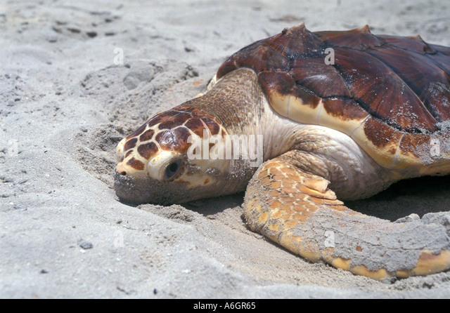 Loggerhead Sea Turtle on Beach During Day - Stock Image