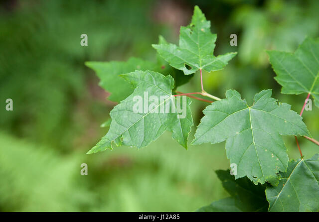 Green leaves, natureGreen leaves, forrest scene - Stock Image