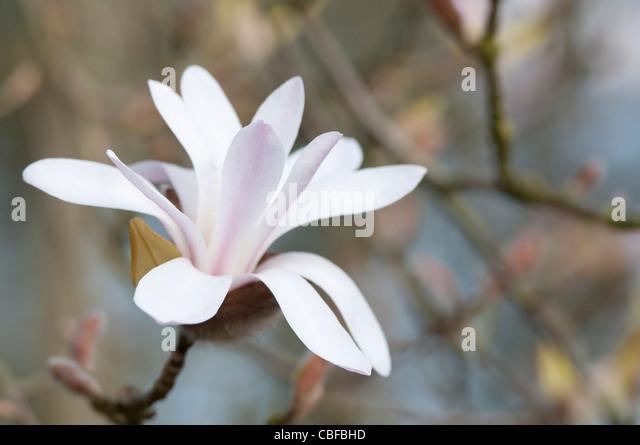 Magnolia Cultivar, Magnolia, White flower subject. - Stock Image