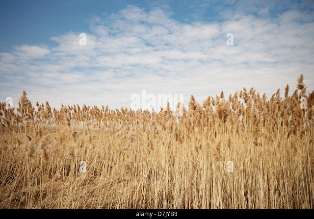 Field of wheat against blue sky and clouds - Stock Image