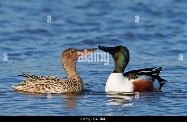 Northern Shoveler (Anas clypeata). Couple displaying. - Stock Image
