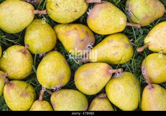 Pyrus elaeagnifolia var kotschyana. Fallen fruit of the Weeping Silver Pear tree. - Stock Image