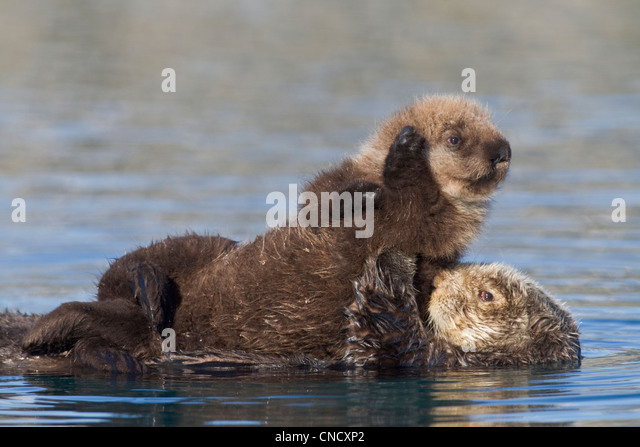 Female Sea otter with newborn pup riding on her stomach, Prince William Sound, Southcentral Alaska, Winter - Stock Image