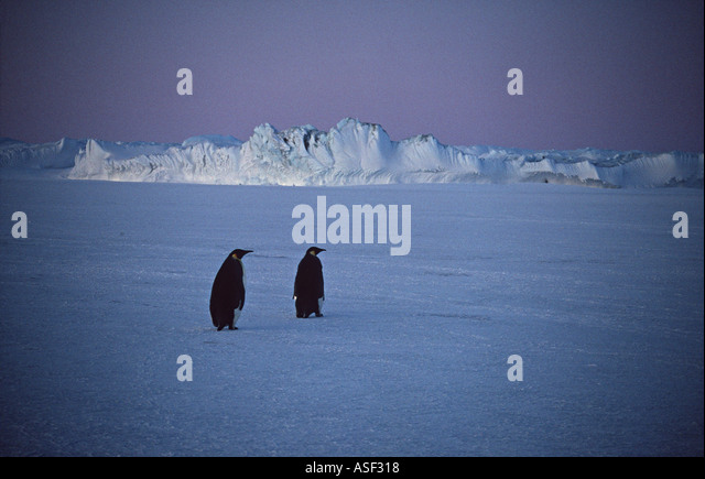 Emperor penguin Aptenodytes forsteri 2 on sea ice ice cliffs of Ross Ice Shelf Cape Crozier Ross Island Antarctica - Stock Image