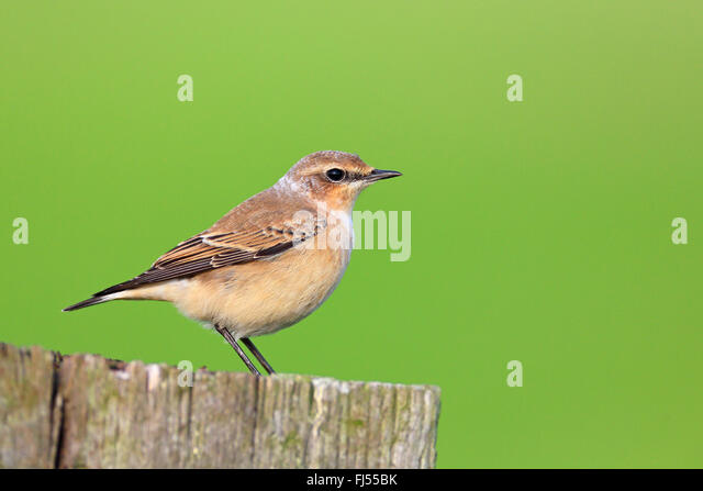 northern wheatear (Oenanthe oenanthe), female sitting on a fence post, side view, Netherlands, Frisia - Stock Image
