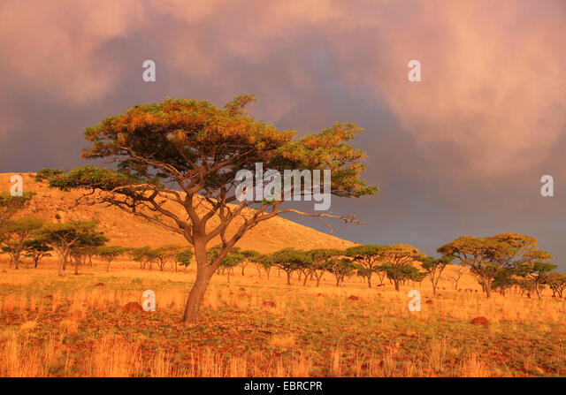evening mood in African savanna after a thunderstorm, South Africa, Kgaswane Mountain Reserve - Stock Image