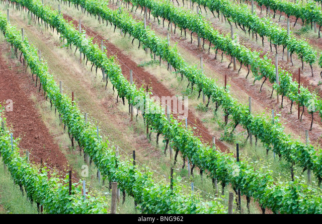 Red earth vineyards in Dundee Hills; near McMinnville; Willamette Valley; Oregon - Stock Image