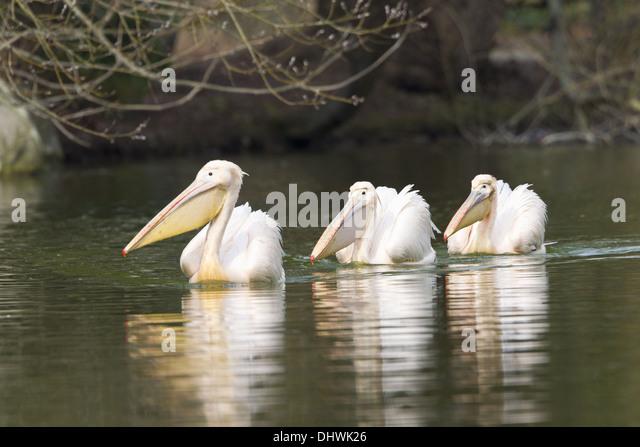 Pelicans (Pelecanus onocrotalus) - Stock Image