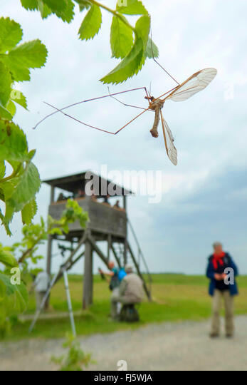 Crane Fly (Tipula spec.), at a twig with leaves, in the background persons at a raised hide, Austria, Burgenland, - Stock Image