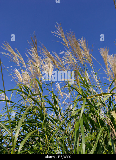giant chinese silver grass stock photos giant chinese silver grass stock images alamy. Black Bedroom Furniture Sets. Home Design Ideas