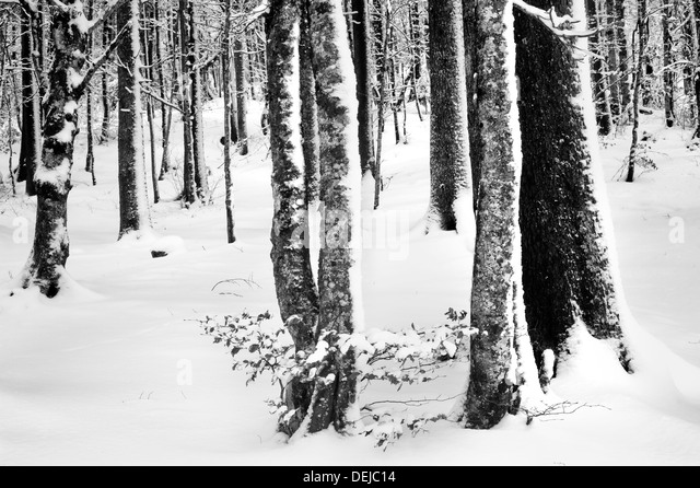 Trees with blown snow attached to one side of the bark - Stock-Bilder