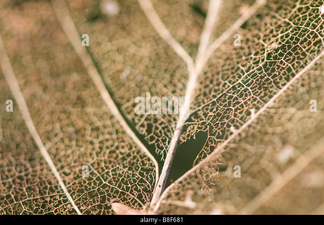 Close up of a decaying leaf - Stock Image