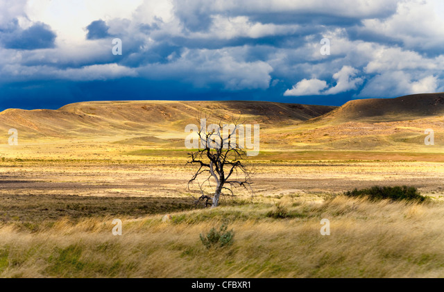 Lone bare tree in Grasslands National Park, Saskatchewan, Canada. - Stock Image