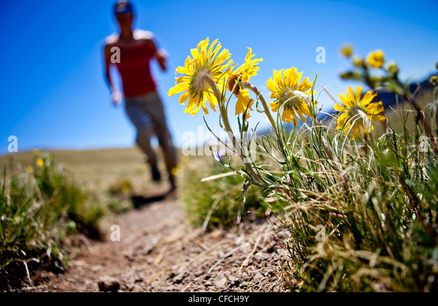 a woman runs past yellow alpine wildflowers (daisy like) that follow the sun. She is running on the Continental - Stock-Bilder