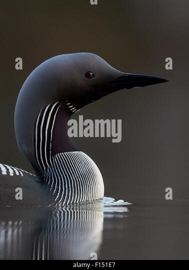 Black-throated diver (Gavia arctica) on water, Finland, May. - Stock Image