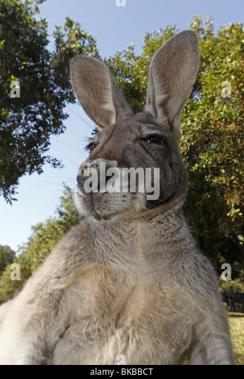 Eastern Grey Kangaroo (Macropus giganteus). Portrait of adult. - Stock Image