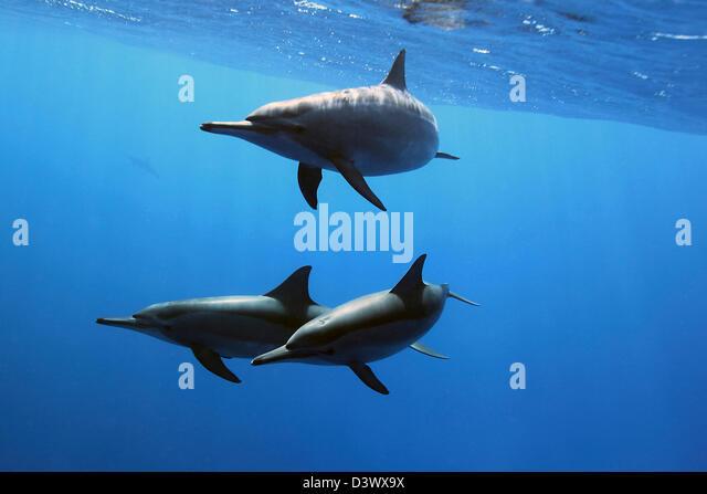 Common Dolphin, Delphinus delphis, Red Sea, Egypt - Stock Image