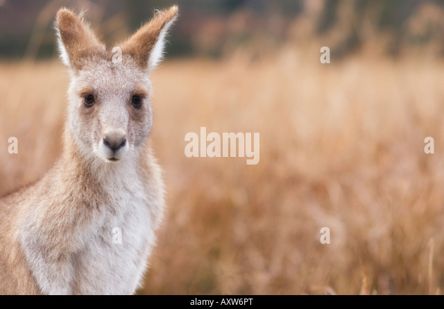 Eastern grey kangaroo, Kosciuszko National Park, New South Wales, Australia, Pacific - Stock Image