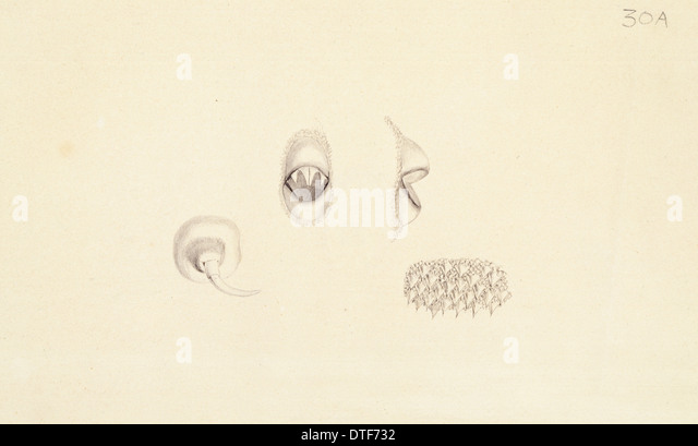 Plate 30a from Zoological drawings by Ferdinand Bauer - Stock Image
