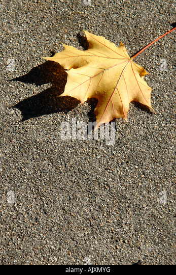 Single Yellow Maple Leaf on Concrete on a Bright Sunny Day with Copy Space - Stock Image