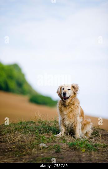 Outdoor portrait of an obedient dog; an elderly female golden retriever. - Stock Image