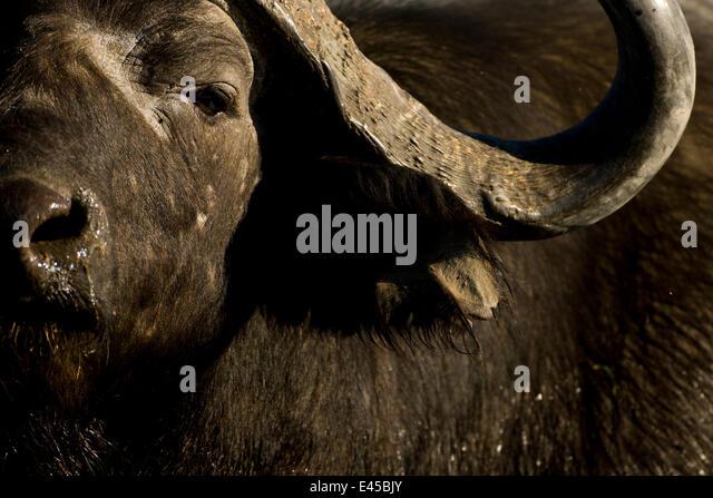 Male African / Cape Buffalo (Syncerus caffer) Okavango Delta, Botswana. - Stock-Bilder