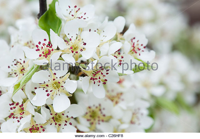 Pyrus communis. Black Worcester Pear tree blossom - Stock Image