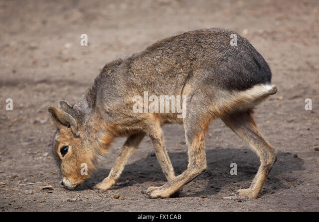 Patagonian mara (Dolichotis patagonum), also known as the Patagonian cavy at Budapest Zoo in Budapest, Hungary. - Stock Image