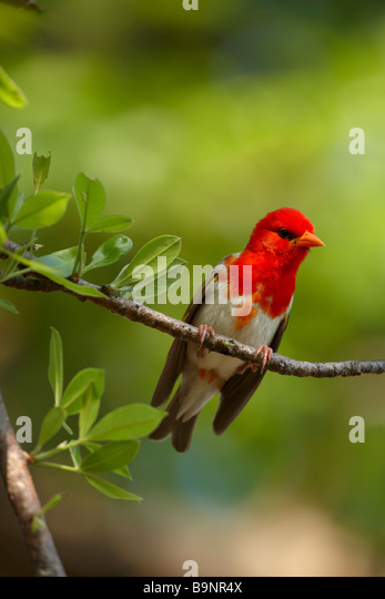 red headed weaver bird, Kruger National Park, South Africa - Stock Image