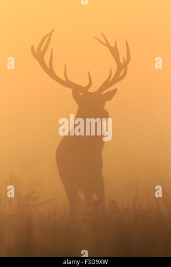 Stag at sunrise in Richmond Park - Stock Image