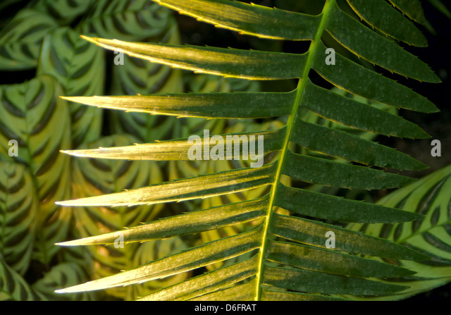 Maranta maranta stock photos maranta maranta stock for Prayer palm plant