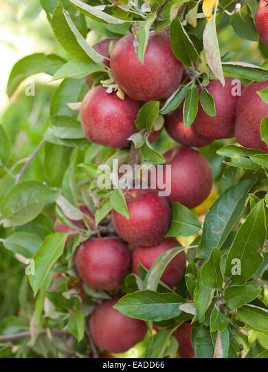 ripe apples on tree - Stock Image