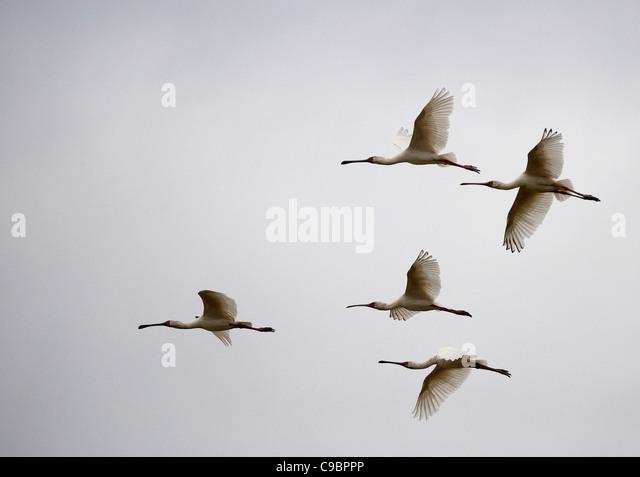 Flock of birds flying against sky, Mana Pools National Park, Mashonaland North Province, Zimbabwe - Stock Image