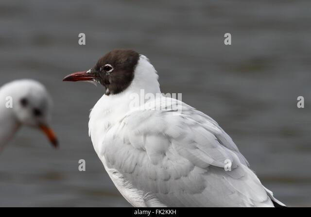 Black-headed Gull (Chroicocephalus ridibundus) - Stock Image