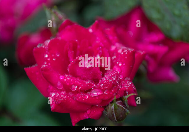 Water Droplets on Pink Rose in garden Narrow Focus - Stock Image