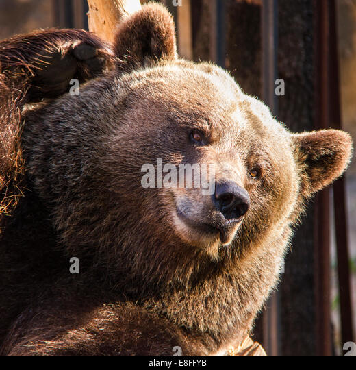 Close up of grizzly bear - Stock Image