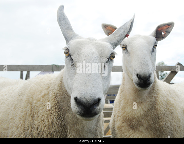 Two angry looking white border leicester sheep - Stock Image