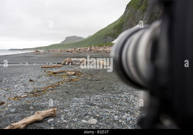 Digital Camera with long lens on tripod for photographing Coastal Brown bears feeding from a whale carcass on beach - Stock Image