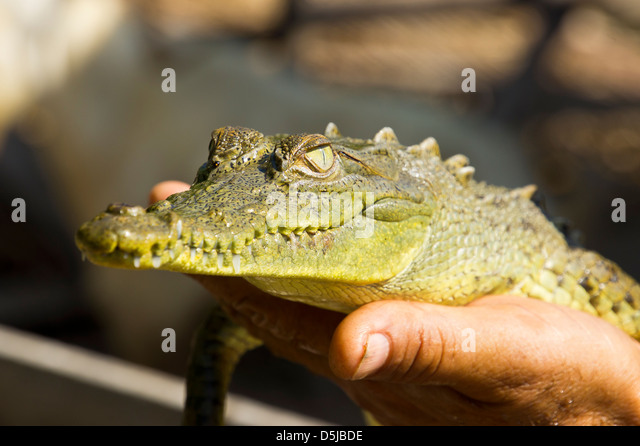 An introduction to the nature of alligators