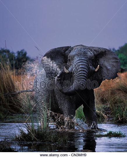 African elephant, Okavango Delta, Botswana - Stock-Bilder