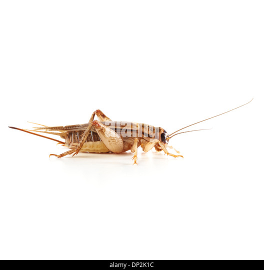Bush cricket - Stock Image