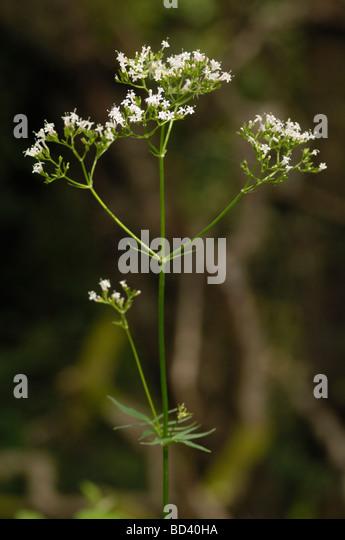 Common Valerian, Valeriana officinalis, wildflower in woodland, Scotland - Stock Image
