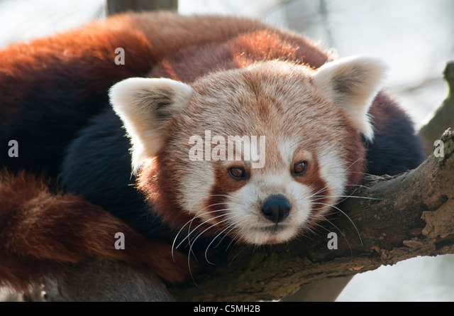 red panda research paper Range of the red panda:  recent molecular systematic dna research also places the red panda into its own family,  red cat, fox bear, bright panda, and himalayan.