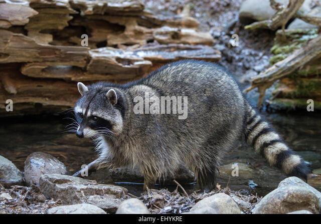 raccoon, procyon lotor, animal, USA, United States, America, - Stock Image